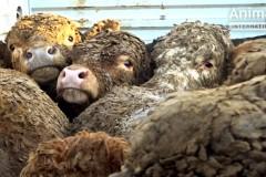 EU_animal_exports_Israel1