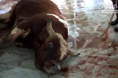EU_animal_exports_Lebanon3